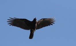 Cuervo americano en vuelo Fotos de archivo