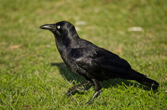 Cuervo australiano en hierba imagen de archivo libre de regalías