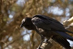 Cuervo australiano en un árbol Imagenes de archivo