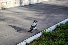 Cuervo blanco y negro imagen de archivo libre de regalías