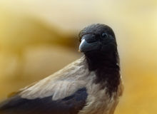 Cuervo bonito Imagen de archivo