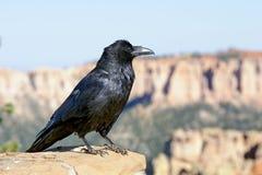 Cuervo común Foto de archivo