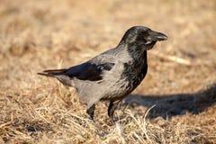Cuervo común Imagenes de archivo