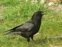 Cuervo común. Fotos de archivo