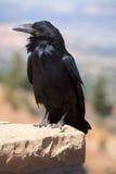 Cuervo común (corax del Corvus) Foto de archivo libre de regalías