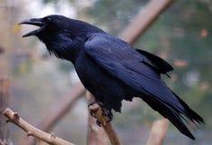 Cuervo común (corax del Corvus) Fotografía de archivo