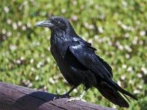 Cuervo común Fotos de archivo