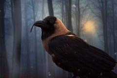 Cuervo-con-curvar-pico-bosque foto de archivo