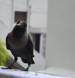 Cuervo con el alimento en pico Imagenes de archivo
