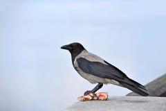 Cuervo con la carne Fotos de archivo libres de regalías