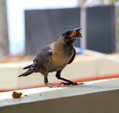 Cuervo con la comida en el alféizar Cierre para arriba Foto de archivo libre de regalías