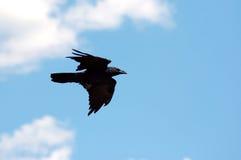 Cuervo contra el cielo y las nubes Fotos de archivo libres de regalías