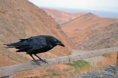 Cuervo curioso Imagen de archivo libre de regalías