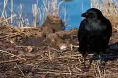 Cuervo curioso en la orilla Fotos de archivo