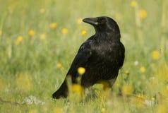 Cuervo de Carrion (Corvus Corone) Imagenes de archivo