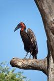 Cuervo de cuernos del cafre en un árbol Foto de archivo libre de regalías