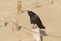 Cuervo de grito Fotos de archivo