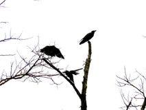 Cuervo de la cautela Imagen de archivo libre de regalías