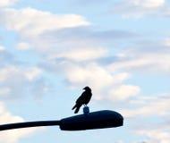 Cuervo de la madrugada en luz Imágenes de archivo libres de regalías