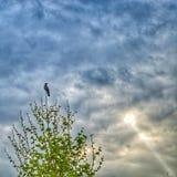 Cuervo de la pega Imagen de archivo libre de regalías