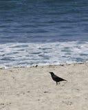 Cuervo de la playa Imagen de archivo