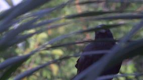 Cuervo de la selva llamada almacen de video