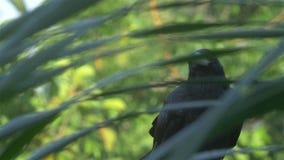 Cuervo de la selva llamada almacen de metraje de vídeo