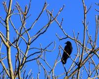 Cuervo de un árbol Imagen de archivo libre de regalías