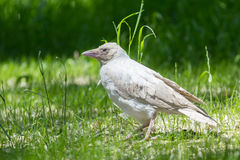 Cuervo del albino en el parque Foto de archivo