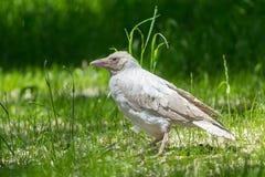 Cuervo del blanco del albino Imagen de archivo libre de regalías