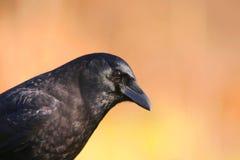 Cuervo del noroeste Fotografía de archivo