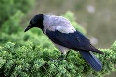 Cuervo del pájaro fotografía de archivo