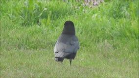 Cuervo del cuervo que forrajea a través de prado almacen de metraje de vídeo