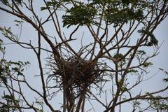 Cuervo después en árbol Fotografía de archivo libre de regalías