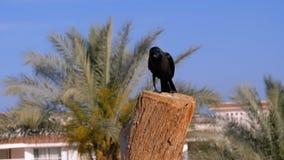 Cuervo egipcio que se sienta en una rama en el fondo del hotel y de las palmeras C?mara lenta metrajes