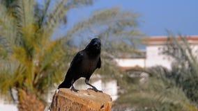 Cuervo egipcio que se sienta en una rama en el fondo del hotel y de las palmeras C?mara lenta almacen de video