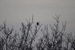 Cuervo en árbol Fotografía de archivo libre de regalías