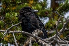 Cuervo en árbol imperecedero Fotografía de archivo