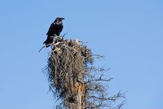 Cuervo en árbol muerto Imagen de archivo libre de regalías