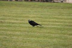 Cuervo en campo de hierba Fotos de archivo libres de regalías