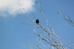 Cuervo en el árbol Imagenes de archivo