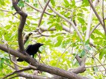 Cuervo en el árbol en el parque Fotos de archivo