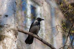 Cuervo en el abedul de la primavera Foto de archivo