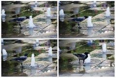Cuervo en el agua potable de la piscina del parque Imagen de archivo libre de regalías