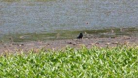 Cuervo en el borde del pantano Imagenes de archivo