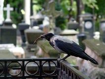 Cuervo en el cementerio Imagenes de archivo