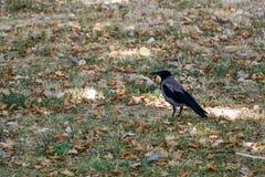 Cuervo en el parque imagen de archivo libre de regalías