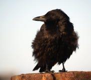 Cuervo en el viento Foto de archivo