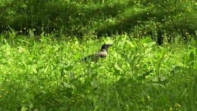 Cuervo en la hierba 4K almacen de metraje de vídeo