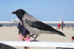 Cuervo en la playa foto de archivo libre de regalías